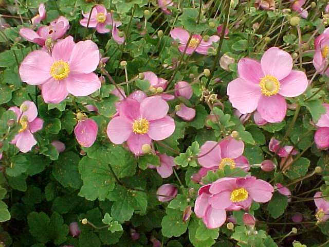 anemone anemone anemone hupehensis or japanese anemone bloom august through