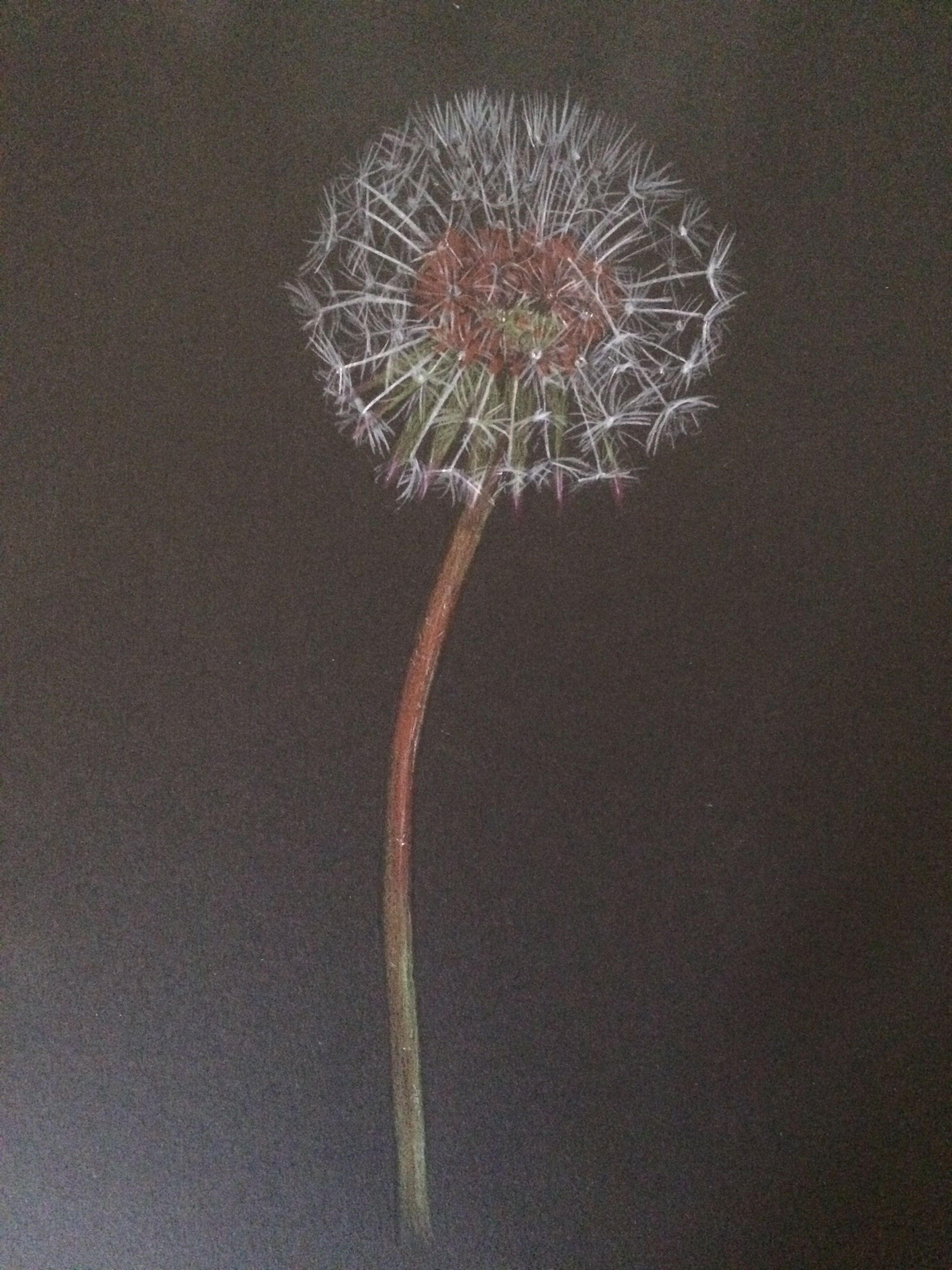 dandelion in coloured pencils