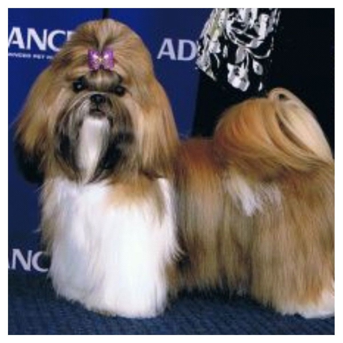 This Is Loui As A Show Dog Before We Bought Him He S A Beautiful