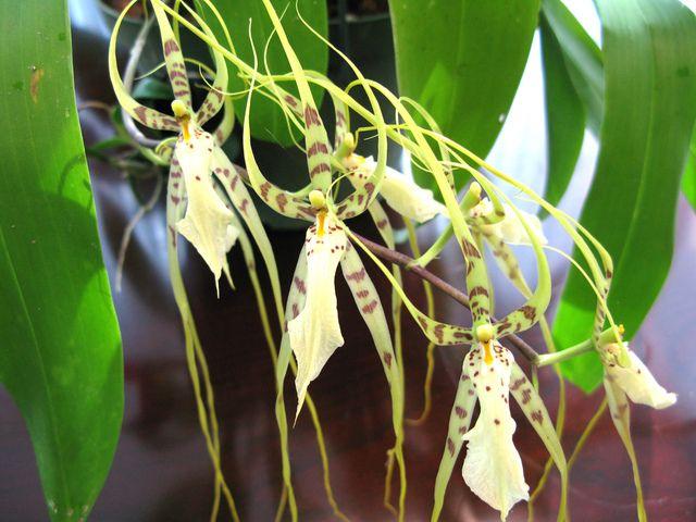 Conseils de culture et d 39 entretien de la brassia ou orchid e araign e facile cultiver et - Entretien orchidee phalaenopsis ...