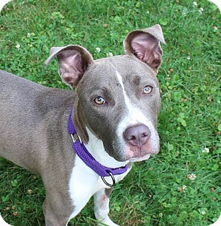 Pin By Kyara Baker On Adoption Pitbull Terrier Great Dane Mix