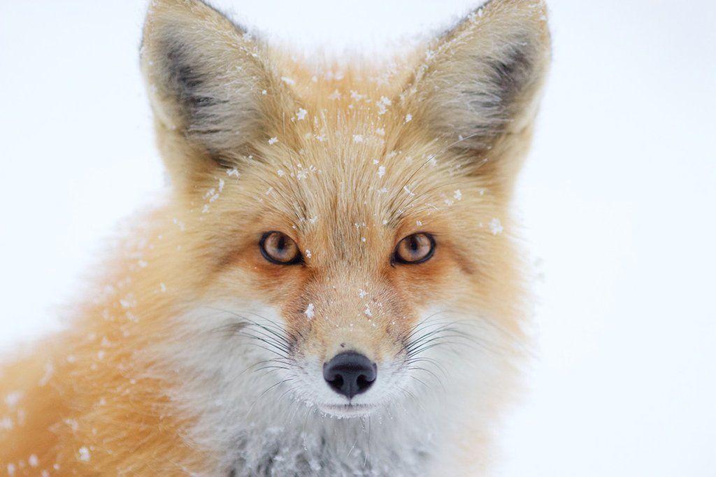 Gary the Fox Print #1
