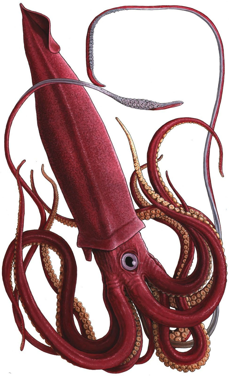 Giant-Squid.jpg 974×1,600 pixels | For My Little Lou ...