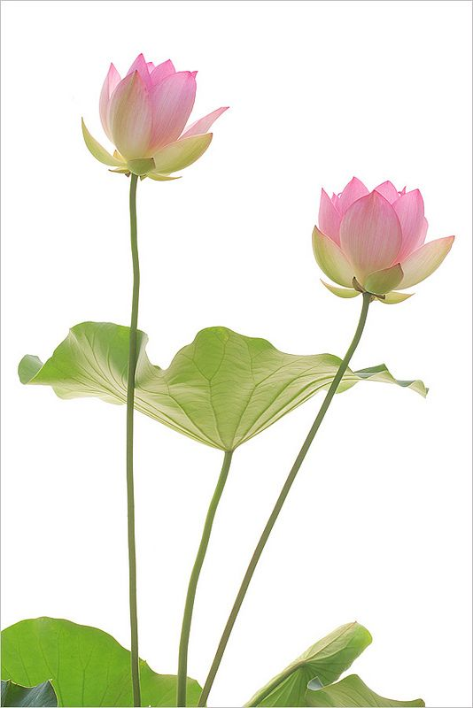 Pink Lotus Flowers And Leaf The Exquisite World Of Lotus Water