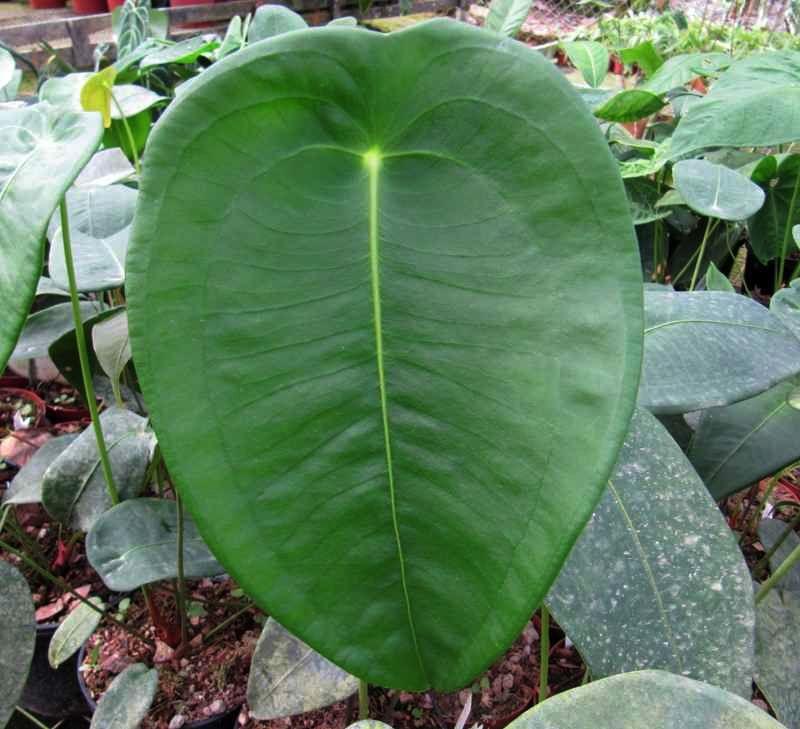 Anthurium Peltigerum Ecuagenera Anthurium Variegated Plants Plants