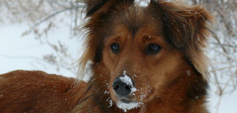 Honey Hill English Shepherds Puppies For Sale English Shepherd