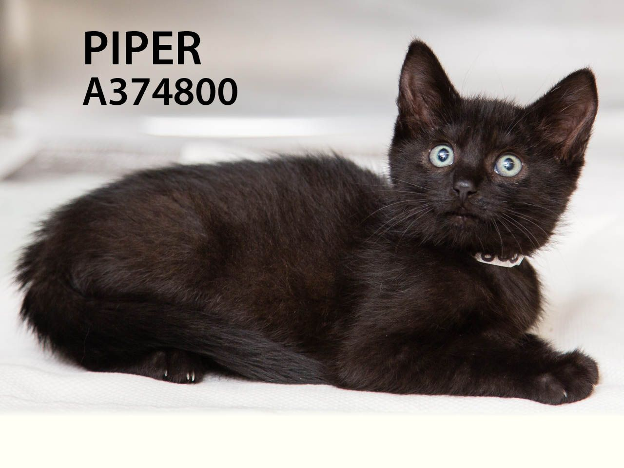 Piper & Pluto (ID: A374800 & A374697) are adorable and ready for their forever home. It would be wonderful if they could be adopted together -- they were in a great Toni's Kitty Rescue foster home. Come meet these cuties today.