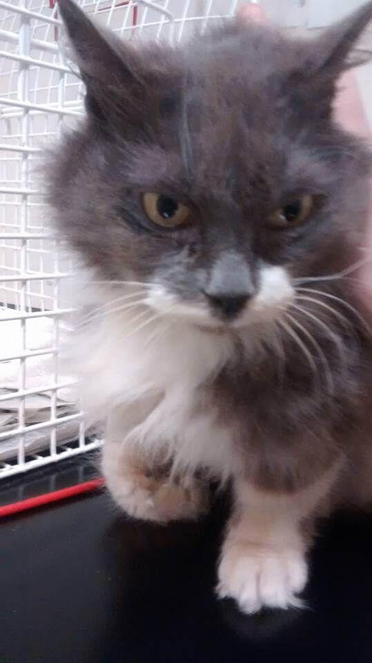 Grey White Longhair Cat Wallasey Uk Grey And White Cat Cats Cat Uk