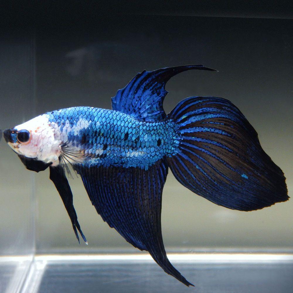 Live Betta Fish Male White Blue Marble Dragon Veiltail Pet Supplies Fish Aquariums Live Fish Ebay Betta Fish Betta Fish Pet