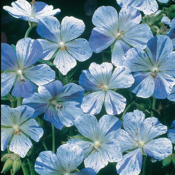 g ranium vivace pratense splish splash g ranium des pr s aux fleurs blanches clabouss es de. Black Bedroom Furniture Sets. Home Design Ideas