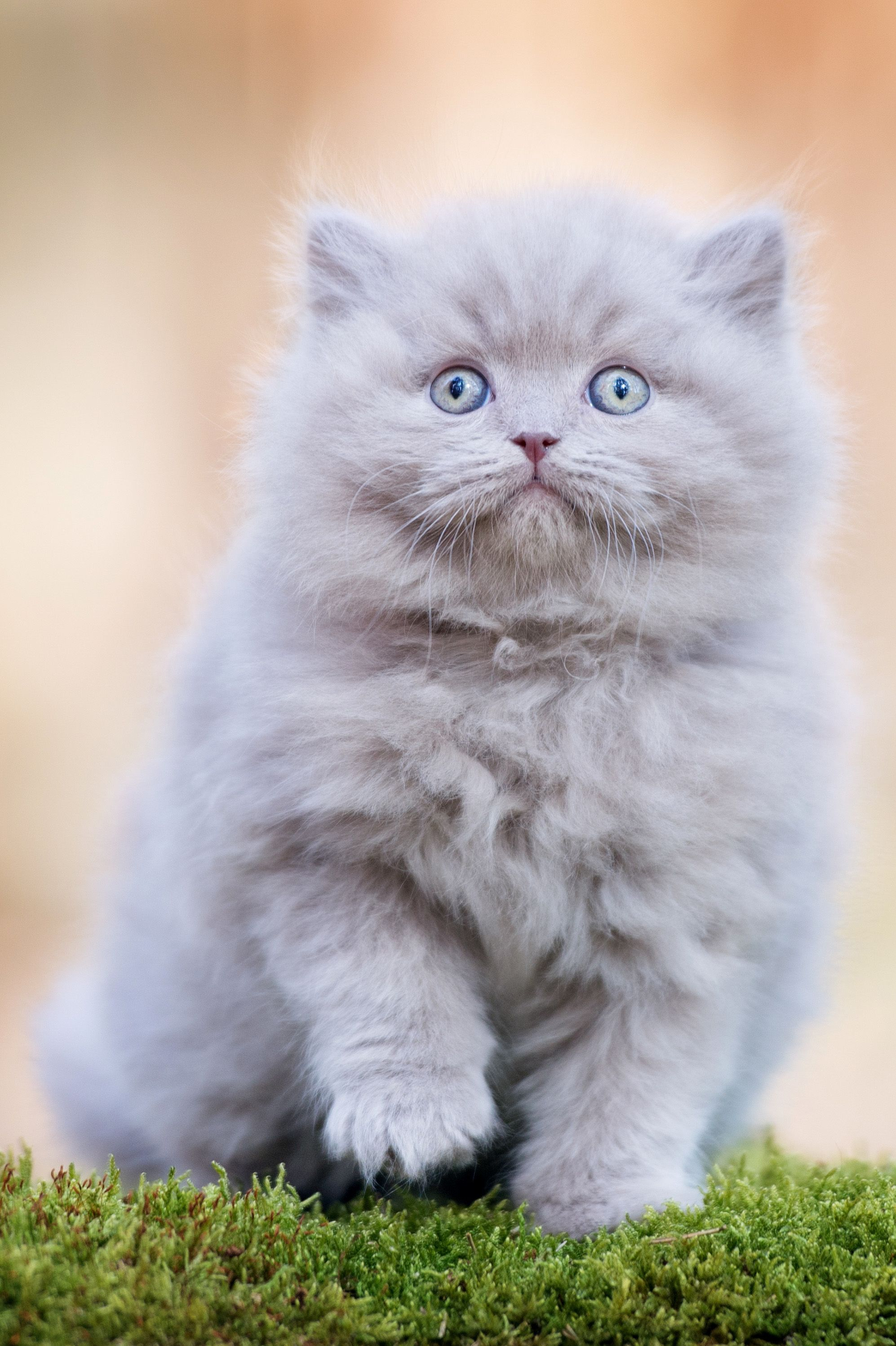 How To Take Care Of Your British Longhair Cat Mystart Cute Cats Photos Pets Cats Images Of Cute Cats