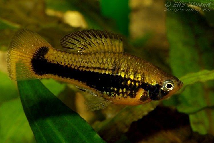 Xiphophorus Variatus Tampico Male Aquarium Fish Big Aquarium Tropical Fish