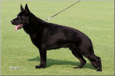 German Shepherd Dog Black V Bomber Vom Wolfsheim