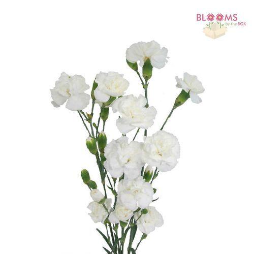 Mini Carnations White Mini Carnations Carnation Flower Carnations