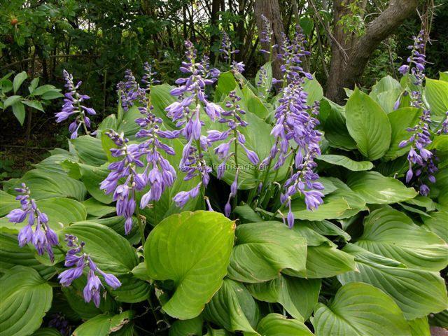 hosta ventricosa | Είδος Φυτού: