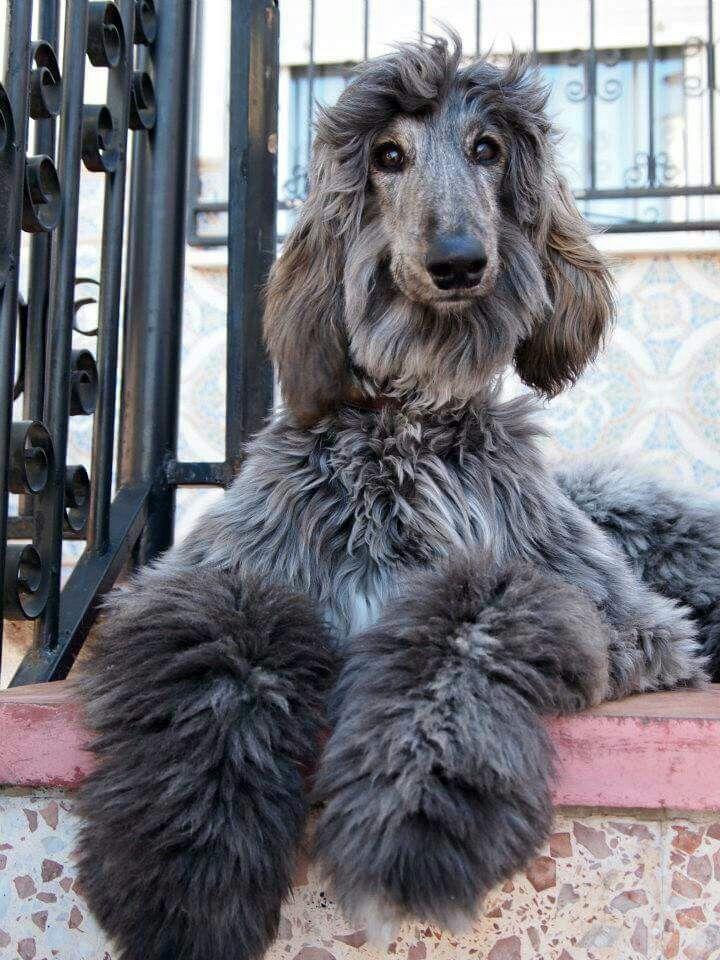 A blue brindle Afghan Hound puppy. Afghan hound puppy