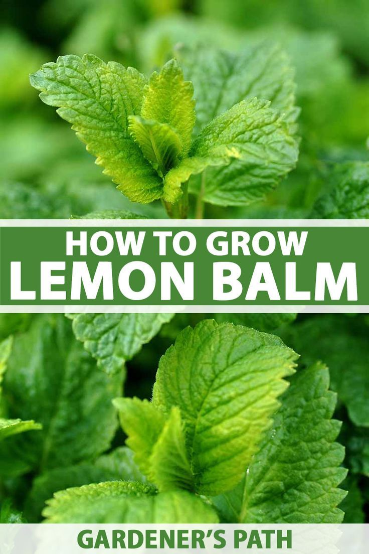 How to Grow Lemon Balm is part of Growing lemon balm, Medicinal herbs garden, How to grow lemon, Lemon balm plant, Lemon balm, Herb garden design - Add some life to your herb garden with lemon balm  This fast growing perennial has a pleasant lemonlike flavor and a long list of uses  Read more now