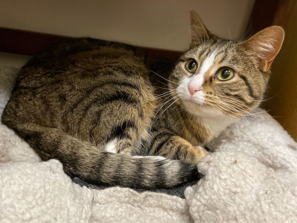 Adopt Sydney On Petfinder Manitousprings In 2020 Cat Adoption Help Homeless Pets Homeless Pets