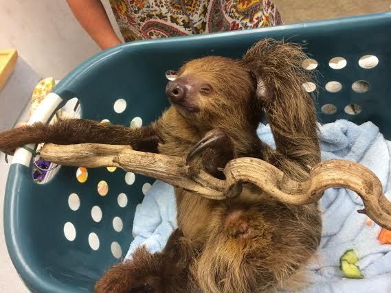 Speedy The Sloth She Was In To Visit With Dr Brooks Sloth Veterinary With Images Veterinary Hospital Pet Clinic Animal Hospital