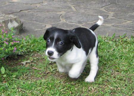 Border Beagle Adorable Beagle Mix Collie Beagle