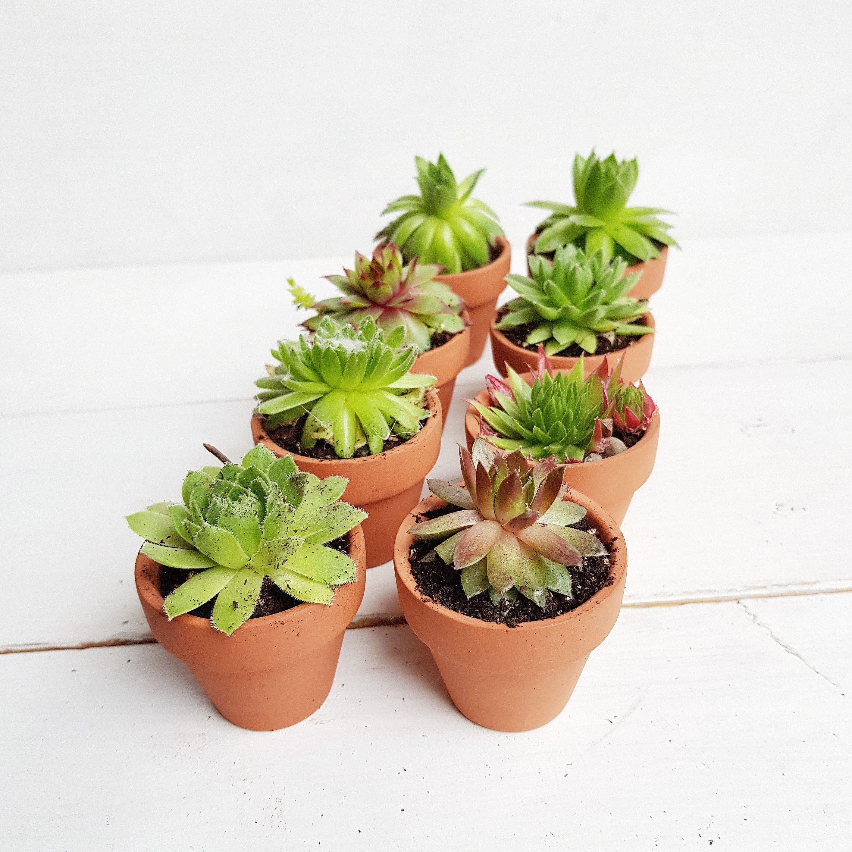 Succulent / Sempervivum Terracotta Pot Favours (Set of 8