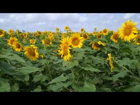 Sunflowers in the Rio Grande Valley May 2010.mp4