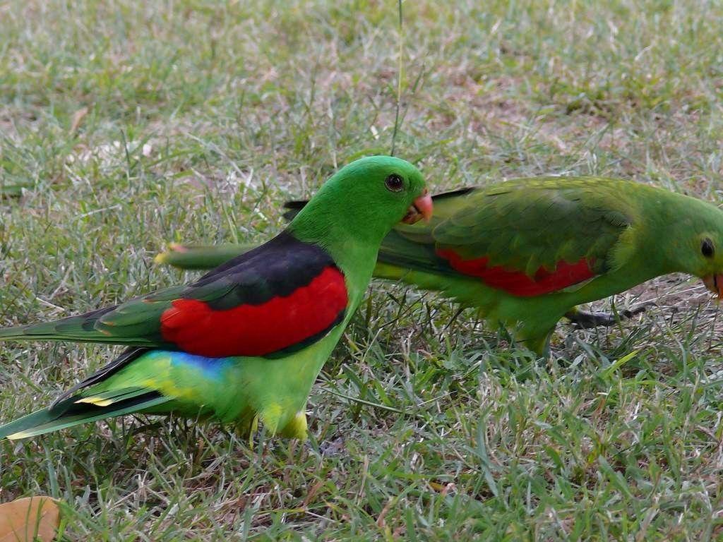 Самцы краснокрылых попугаев окрашены более ярко.
