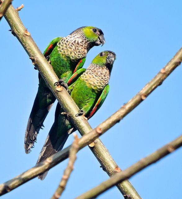 Foto tiriba-rupestre (Pyrrhura rupicola) por Leila Esteves | Wiki Aves - A Enciclopédia das Aves do Brasil