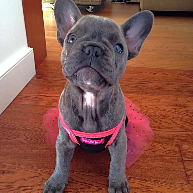 All Dressed Up To Go To Her First Wedding Blue French Bulldog