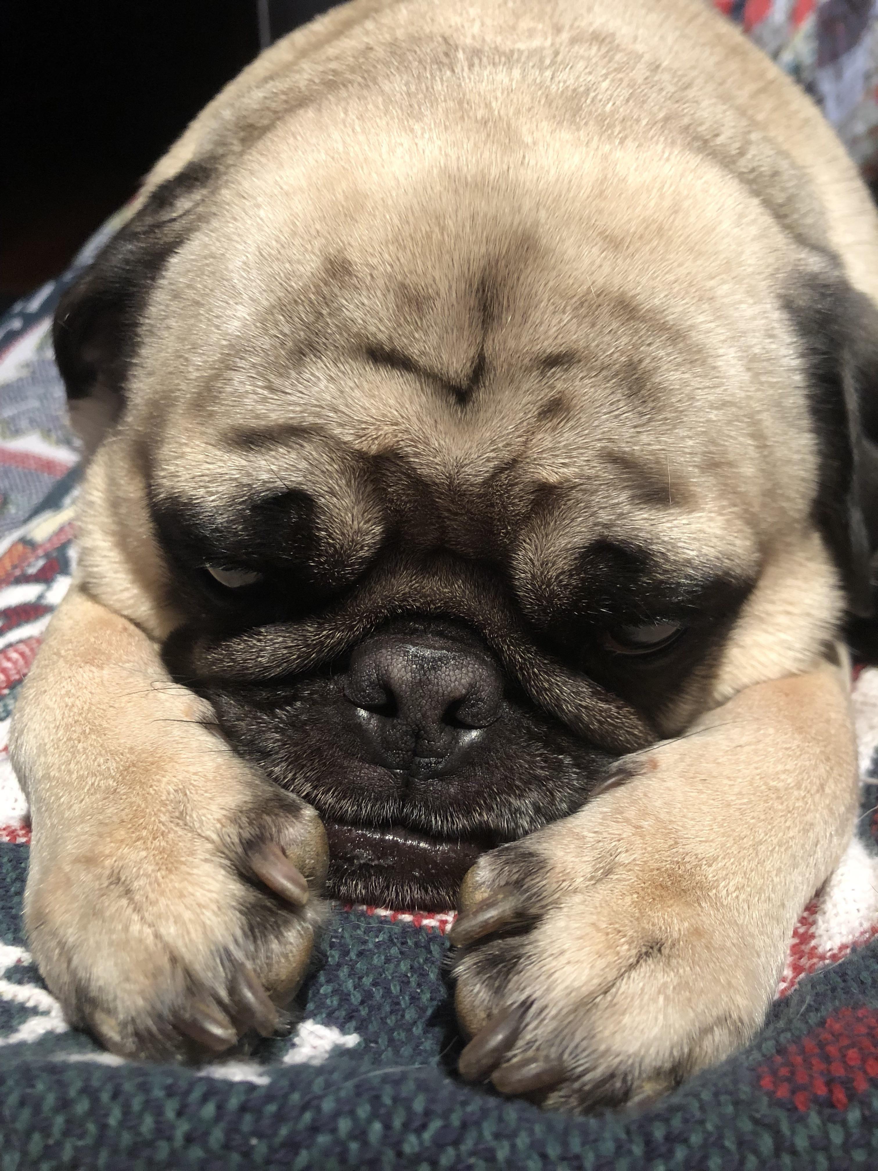 Ringo Was Soooo Tired Https Ift Tt 2d9ypth Pug Puppies Pugs