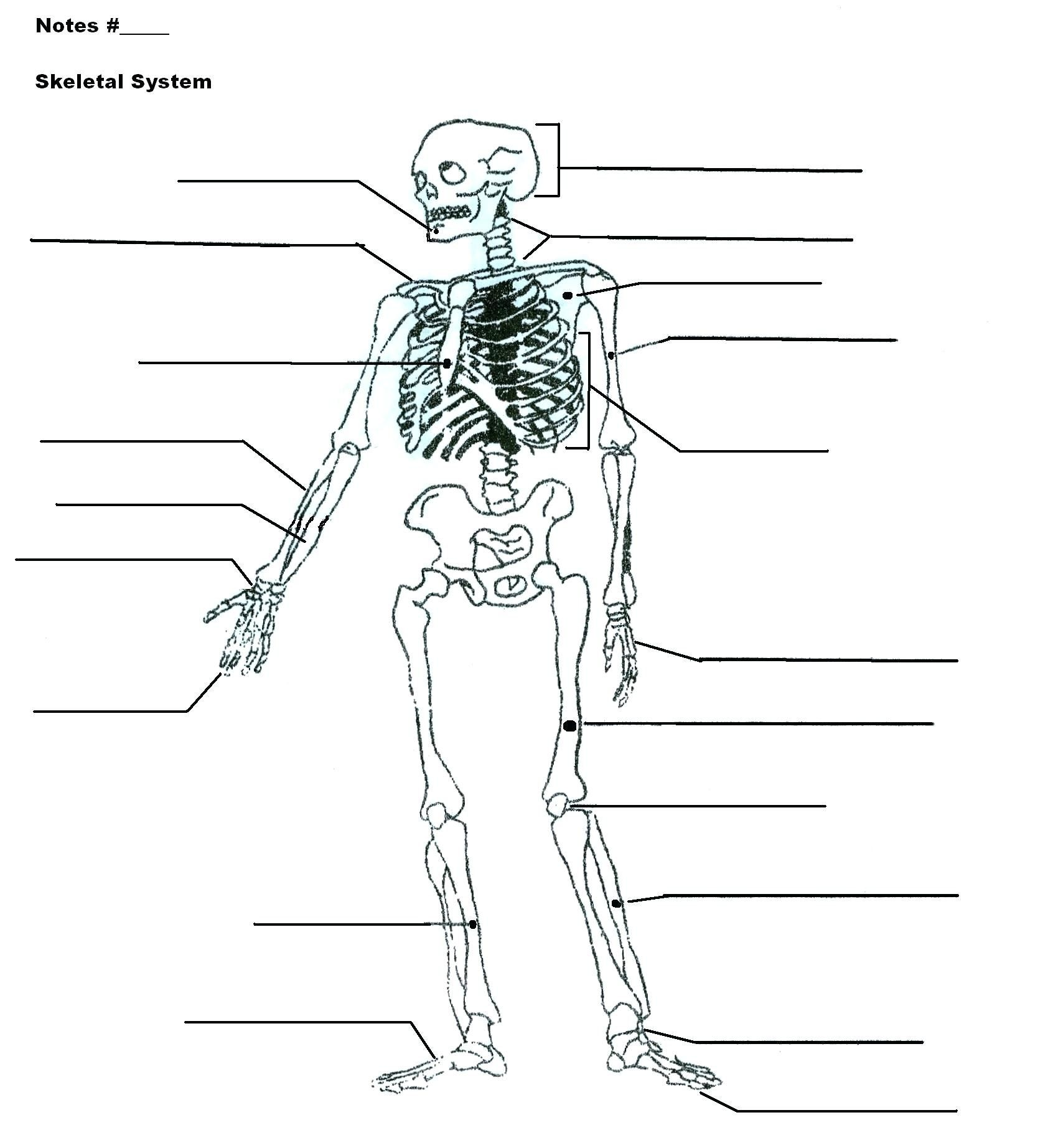 Human Skeleton Diagram Without Labels Human Skeleton
