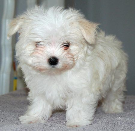 How Big Do Maltese Dogs Get Cute Maltese Dog Check Maltese Dog