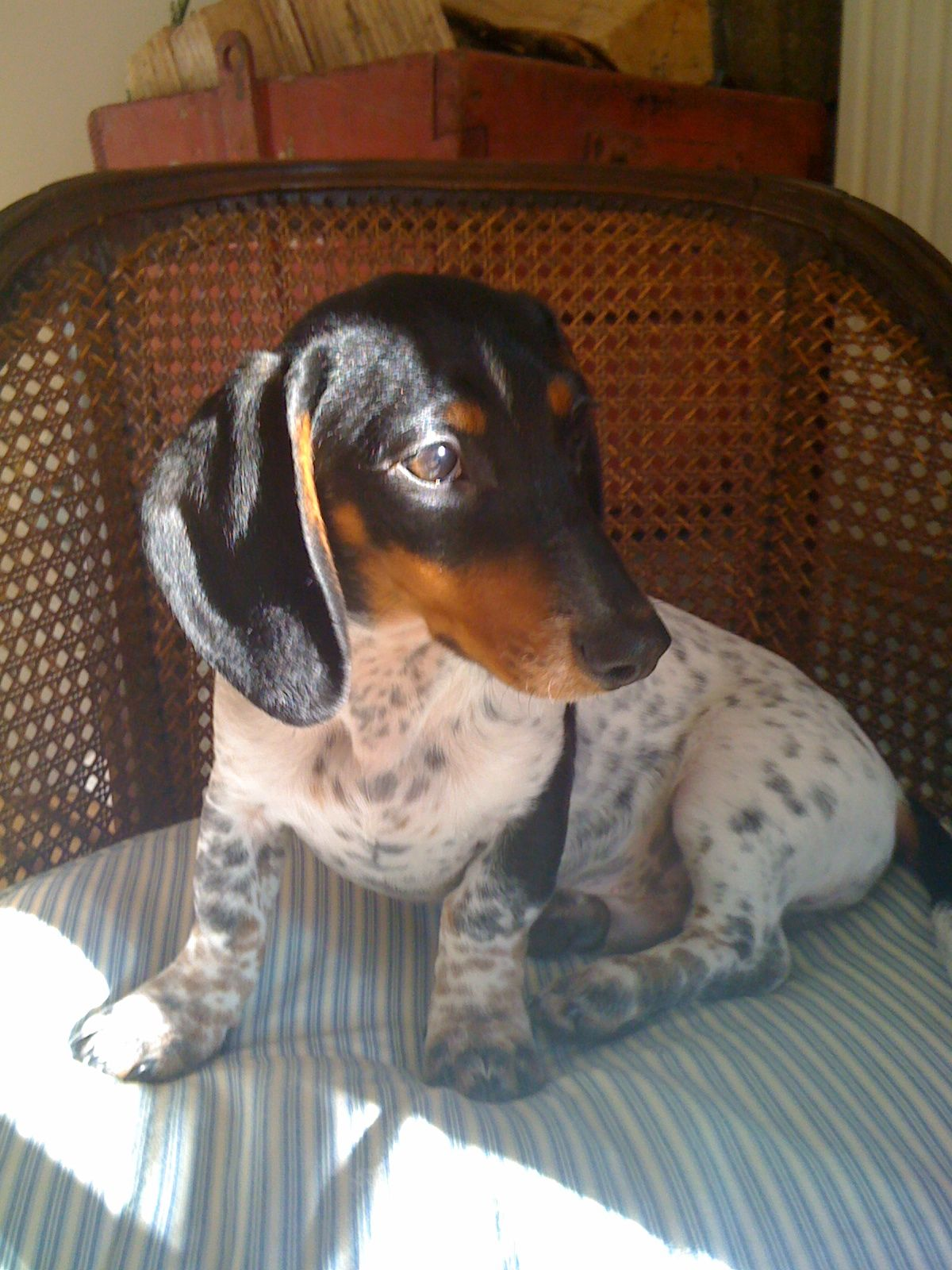 Dapple Double Dapple Piebald Dachshunds Are So Pretty Piebald