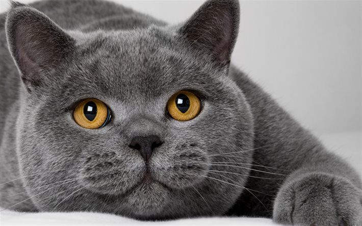 British Shorthair Gray Cat Yellow Eyes Cute Animals Cats