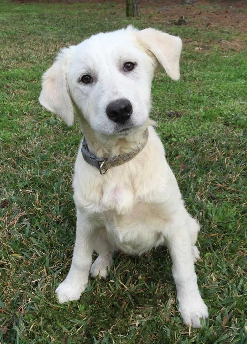 Adopt Elsa On Great Pyrenees Dog Paws Rescue Great Pyrenees