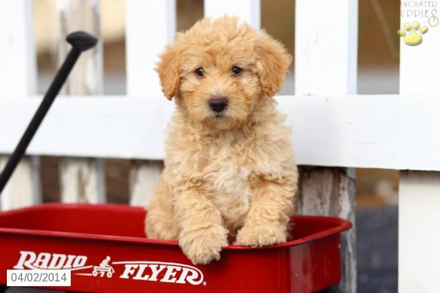 Mini Labradoodle Puppy For Sale In Pennsylvania Labradoodle Puppies For Sale Labradoodle Puppy Mini Labradoodle Puppy