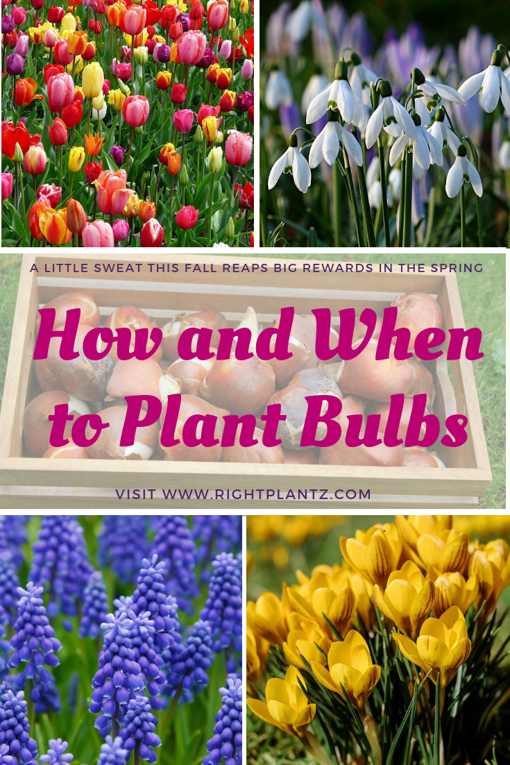 How And When To Plant Spring Bulbs I Rightplantz Fall Bulb Planting Tulips