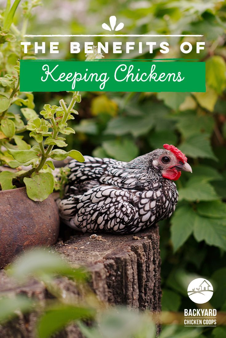 keeping chickens in your garden will be an absolute delight you