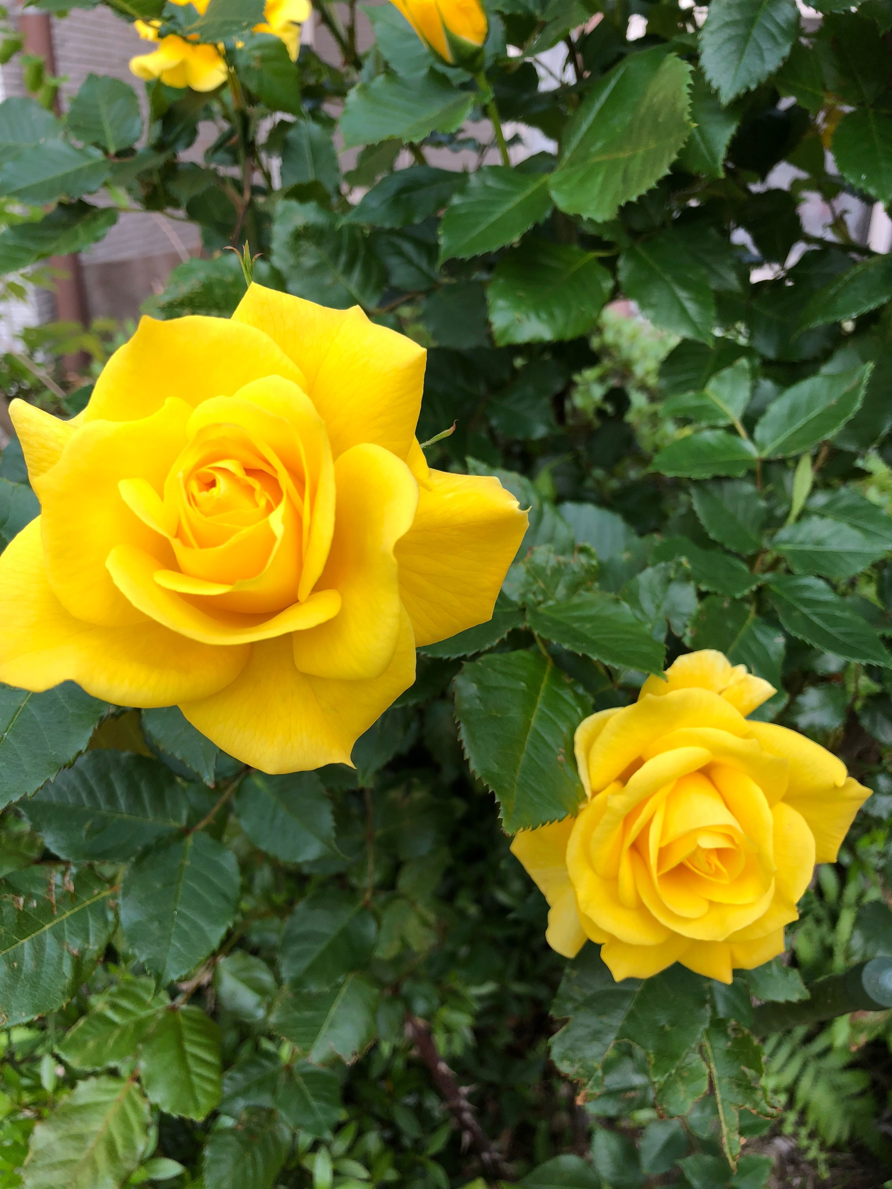 Yellow Flowers Rose Yes To Yellow Pinterest Yellow Roses
