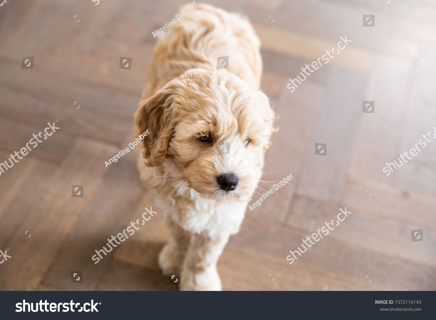 Cream Australian Labradoodle pup standing inside on a wooden floor looking at the side #Ad , #spon, #Labradoodle#pup#Cream#Australian