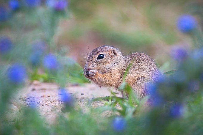 European ground squirrel  by FOTOHILGER.CZ on @creativemarket