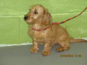 20584278 Is An Adoptable Poodle Dog In Lenoir Nc 7 29 13 3
