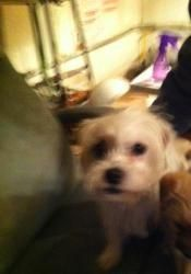 Adopt Precious On Petfinder Maltese Dogs Dogs Girls Life