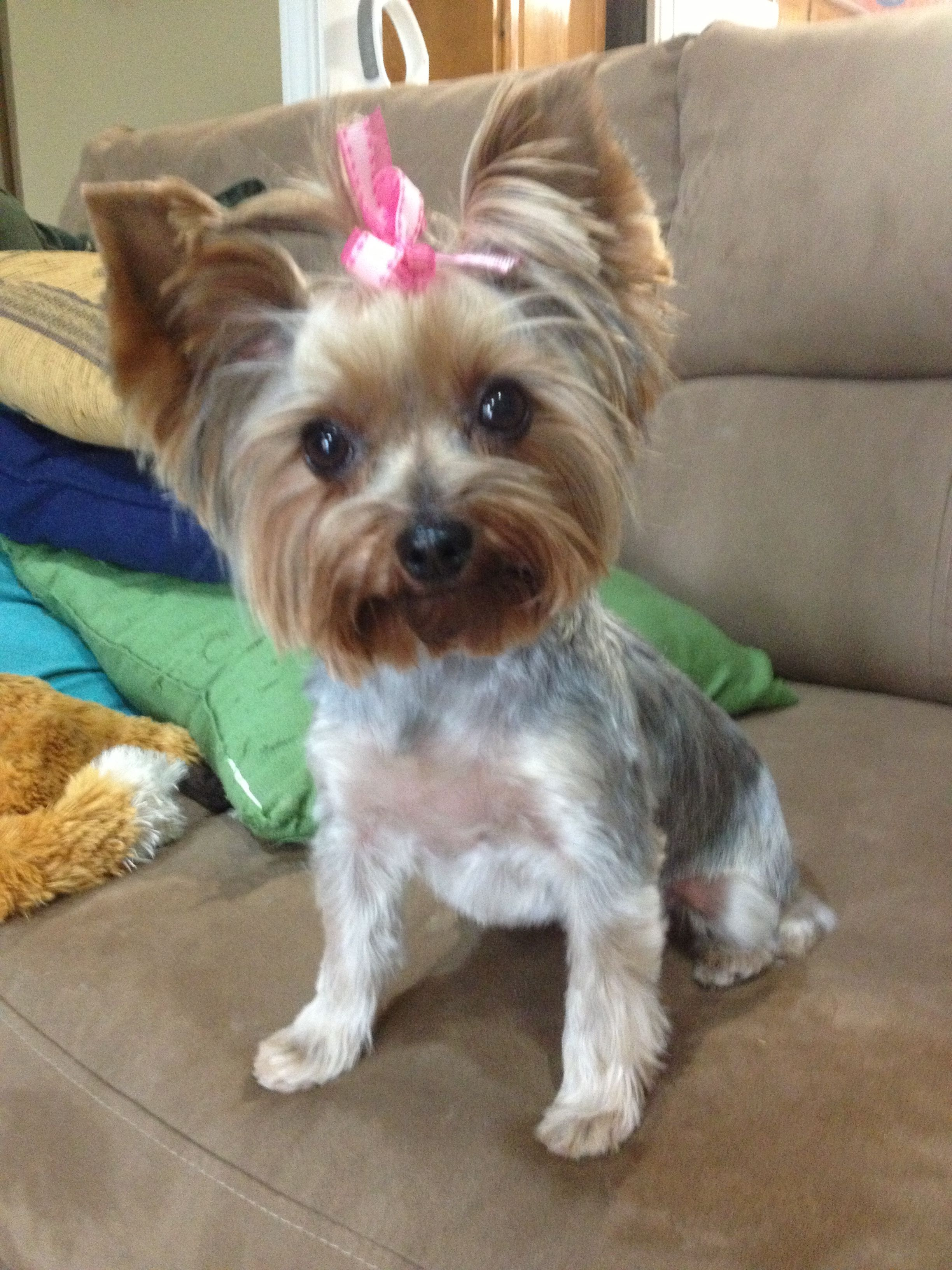 Pin By Janelle Perez On Yorkies And Other Pets Yorkie Haircuts Yorkie Hairstyles Yorkie