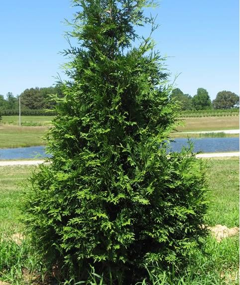 Green giant arborvitae arborvitae trees mr jack 39 s Green giant arborvitae