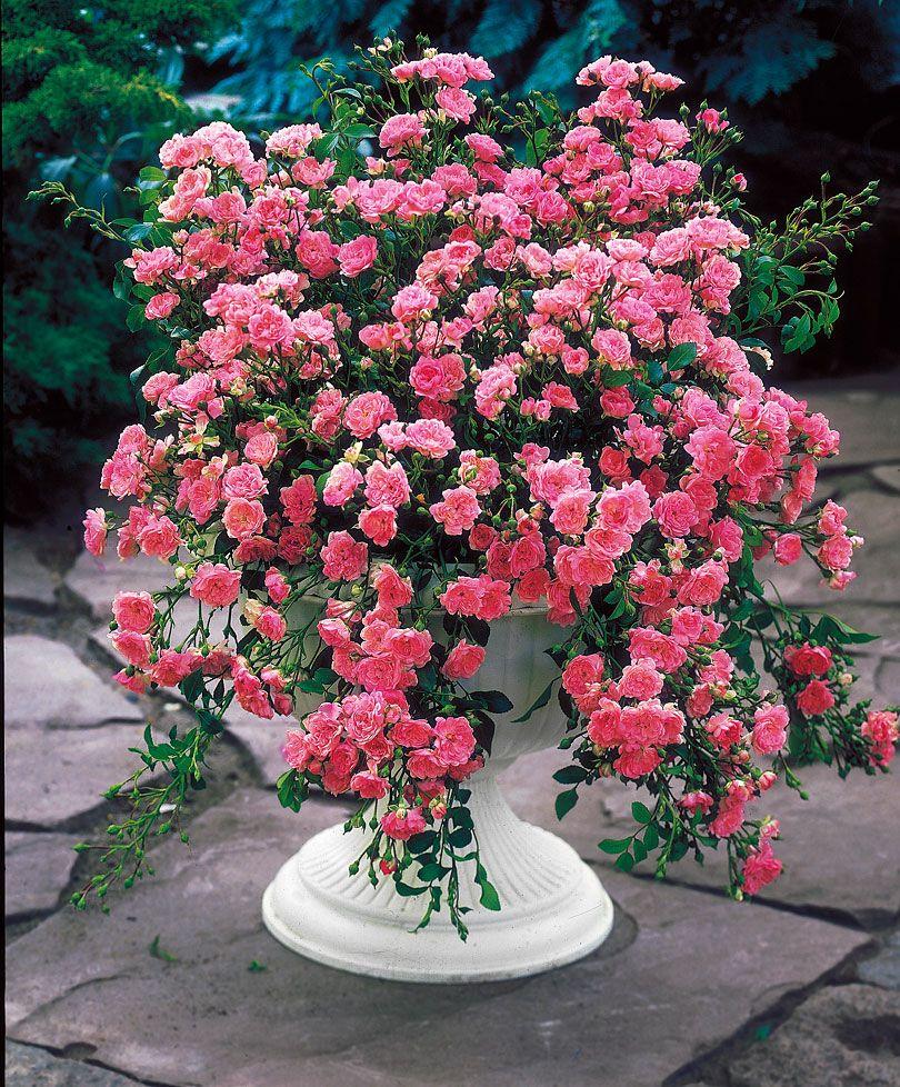 it made me think of you jema hanging rose 39 gemma 39 rosen im kuebel container flowers garden