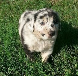 Averie Is An Adoptable Newfoundland Dog Dog In New Milford Ct Averie And Her Brother Ayden Came To Our Rescue V Cute Animals Animal Memes Australian Shepherd