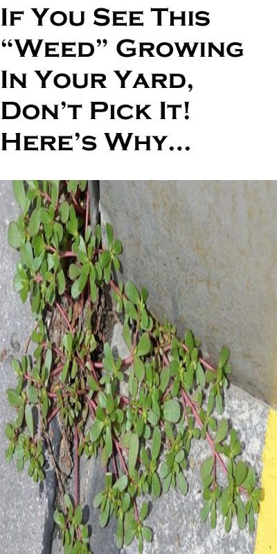 "If You See This ""Weed"" Growing In Your Yard, Don't Pick It! Here's Why…"