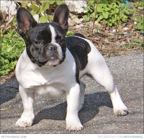 Black And White French Bulldog Puppy Dog Pictures Blog French Bulldog Pictures French Bulldog Bulldog Breeds