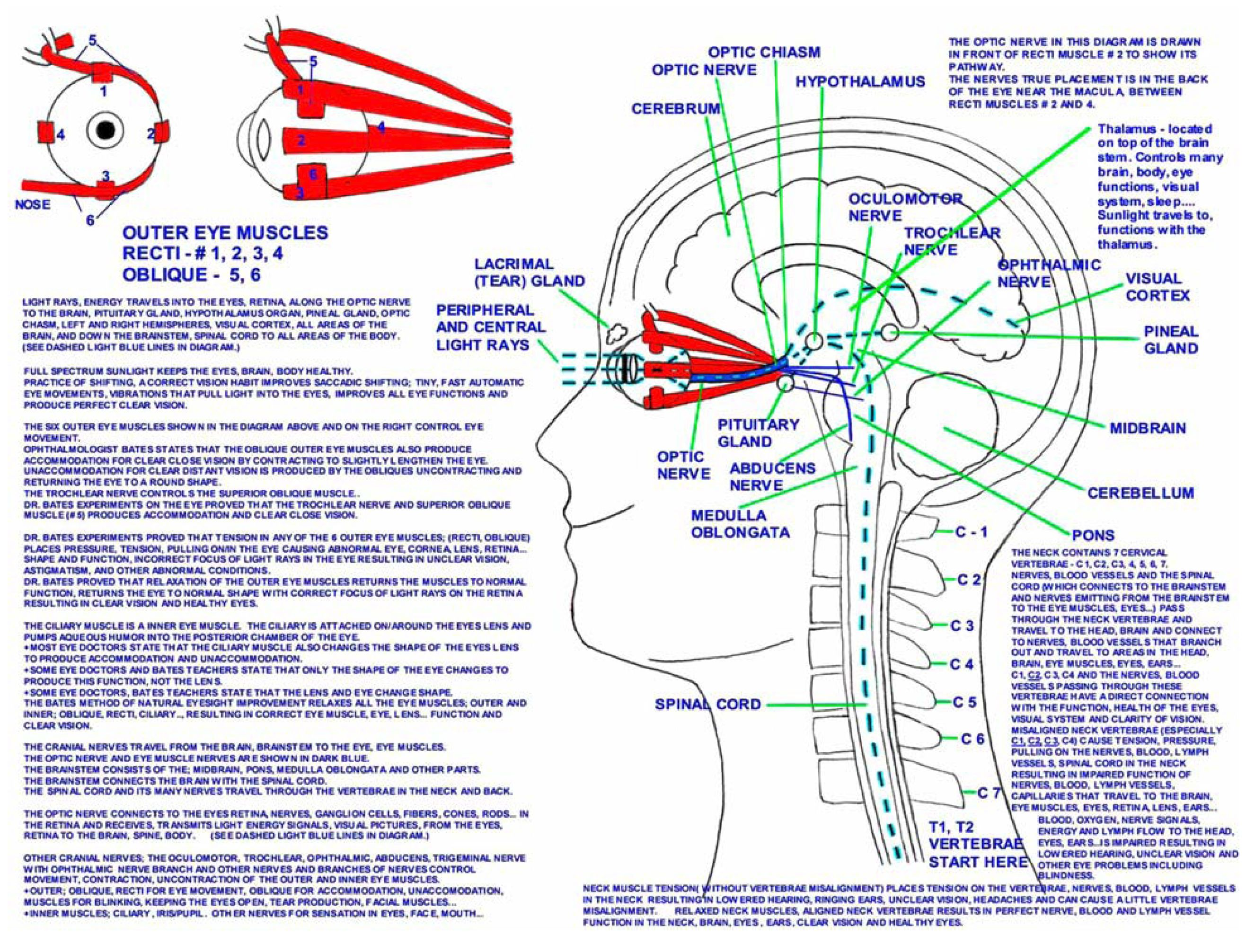 physicians professional eye chart with rods and cones rods in your eyes rod and cone eye diagram [ 2652 x 2012 Pixel ]